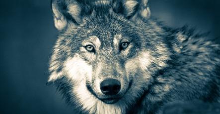 wolf-3577956_640